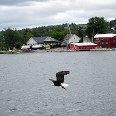 Sydney, Nova Scotia - Bald eagle