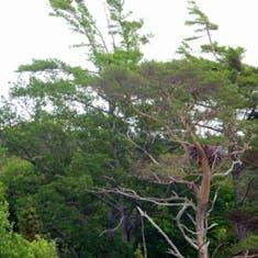 Sydney, Nova Scotia - Bald eagle nest