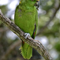 I think this is a yellow-fronted amazon that lived at the coffee plantation.