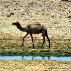 Camel in Salalah, Oman