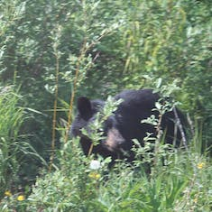 Bear on the Yukon Trail