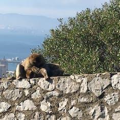 Gibraltar  (U.K.) - The Apes of Gibraltar