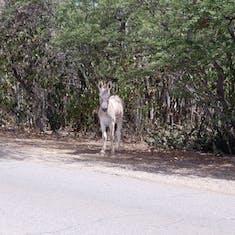 Kralendijk, Bonaire - Wild Donkey