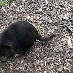 Wombat at Healesville Animal Sanctuary