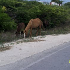 Grand Turk Island - Horses, donkey's and cows roamed free. They didn't budge as we drove by.