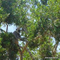 Hambantota, Sri Lanka - Monkey in a tree Yala National Park, Sri Lanka