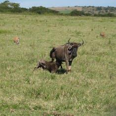 Lion food--Wilderbeasts--Eastern--South Africa