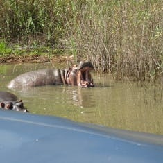Hippopotamus, number one killer of humans in Africa, after the mosquito